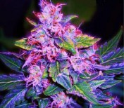 Auto Blue Berry