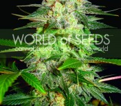 2x Afghan Kush Ryder - World Of Seeds