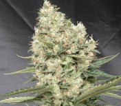 Auto White Widow X-treme