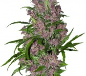 Purple Bud Automatic