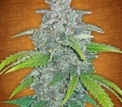 Blue Dream'matic